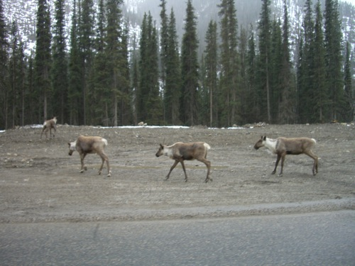 herd of caribou