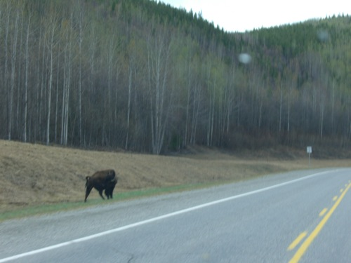 Yes, folks, that's a buffalo. There was a herd of them, but this picture came out best.