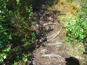 the first part of the trail is tricky, with tons of slippery roots underfoot waiting to trip you