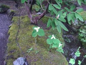 trillium (the provincial flower of Ontario)