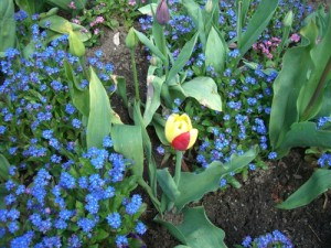 look closely; this yellow tulip has a red petal!