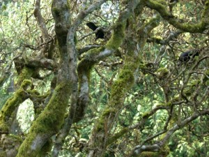 the two ravens were breaking off twigs to build their nest