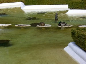 Mr. and Mrs. Mallard taking a nap in the star pond