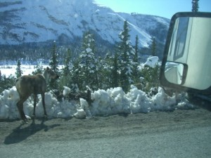 slowing down for caribou