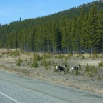 caribous that darted across the highway