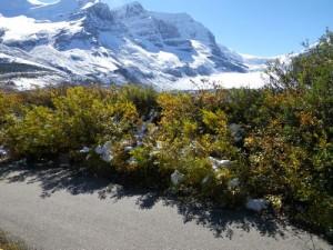 hardy glacial plants