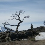 the Burmis tree, 'a sign of endurance for the people of the [Crowsnest] pass', died in the late 1970's but resurrected