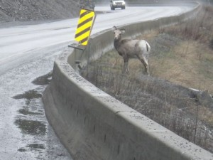 we saw lots of these goats on the highway