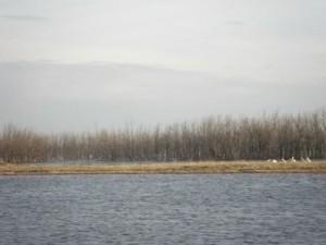 pelicans! (just squint)