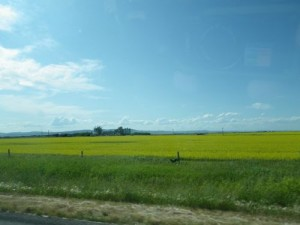 canola (rapeseed) fields