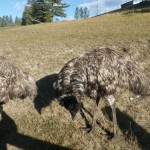emu snacking