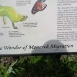 Monarch butterflies land in Wisconsin in droves during their migration