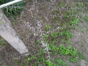 Thorny plants, beware!