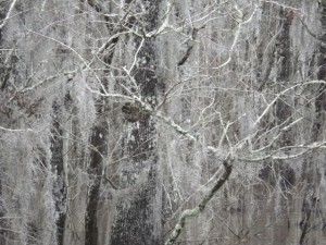 The trees were all covered in Spanish moss.