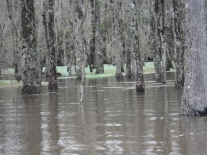 A bayou is a slow moving current. A swamp is a flooded forest.