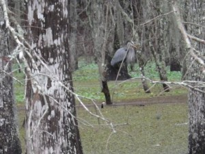 We saw quite a few of these big male herons.
