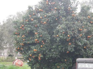OMG, is that an ORANGE TREE??!!