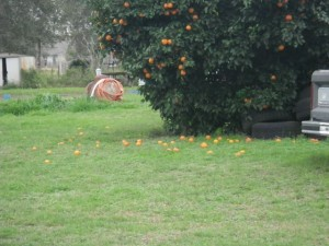 If I had an orange tree, you wouldn't catch me wasting any of the fruit!