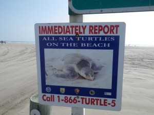 Sea turtles are endangered.