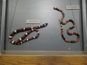 Harmless milk snake on the left, dangerous coral snake on the right.